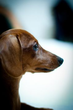 My Doxie used to look like this - he is now a white haired little old man.