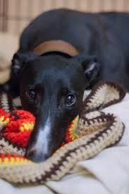 I<3 black greyhounds