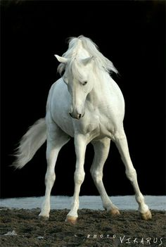 White horse against black background. Pretty Horses, Horse Love, Beautiful Horses, Animals Beautiful, Animals And Pets, Cute Animals, Animal Magic, Majestic Horse, Horse Quotes