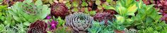 hardy succulents- list of hardy succulents for zones 3-5