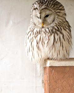 Ural Owl Pinned by www.myowlbarn.com