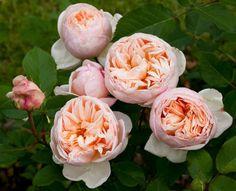 Rosier Belle Romantica ® Meigapencey - Vente en ligne rosiers à grandes fleurs Meilland Richardier