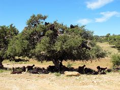 Goats in argan tree -