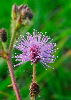 Bunga Putri Malu   Mimosa pudica - Johan Surya #macro #photography #foto #semarang #flower