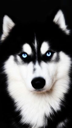 I'll be watching you. Malamute Puppies, Alaskan Malamute, Husky Puppy, Beautiful Dogs, Animals Beautiful, Pet Dogs, Dogs And Puppies, Animals And Pets, Cute Animals