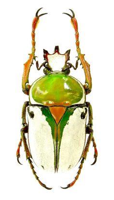 Rhamphorrhina bertolonii