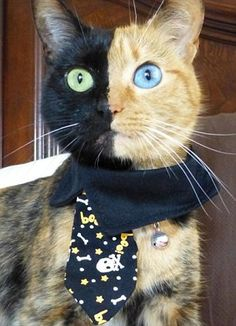 Meet Venus, two faced cat #two-faced #cat #funny #haha