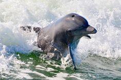 Dolphin at Play near Captiva Island, Florida Captiva Island, Manatees, Cape Coral, Sea Turtles, Sea World, Key West, Sea Creatures, Under The Sea, Beautiful Creatures
