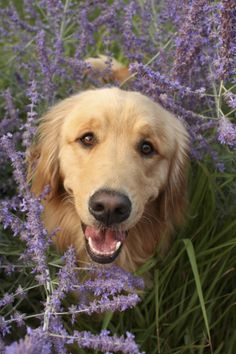 For your LOVE of GOLDEN RETRIEVERS and your favorite smell of LAVENDER...........