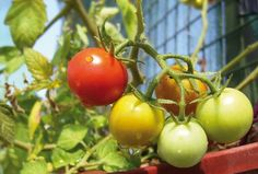 Cultiva tomates cherry