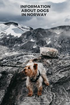 Norwegian's love their pooches. This article explores everything from the most common breeds to the most popular dog names. Most Popular Dog Names, Norway Culture, Norwegian Elkhound, Visit Norway, Natural Instinct, Norwegian Forest Cat, Dog Show, Oslo, Dog Owners