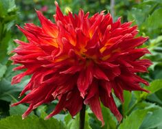 Wyn's Hot Lava (#3347) Classification: Semi-Kaktusdahlien Color: rot, innen gelb Height: circa 140 cm Blossom size: 20 cm - 25 cm
