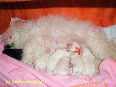 Cindy 11/2011a - Bichon Bolognese / Boloňský psík Bichon Bolognese, Dog Lady, Little Dogs, Animals, Little Puppies, Animales, Animaux, Animal, Animais