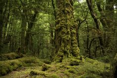 Spey Valley Moss Forest - Fjordland National Park, New Zealand. Yup. This place is real. One of our stops during travel.