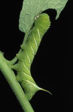 We sell Hornworms like this one, but ours are not harvested from the wild, nor are they exposed to tomato or tobacco plants which are poisonous to your pets.  Please allow us to send you safe hornworms so your pet can enjoy this moisture and calcium filled caterpillar.