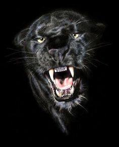 Panthère noire.