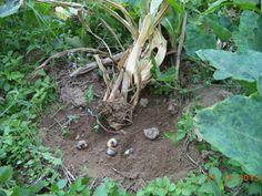 Lây lan sùng đất hại cây trồng