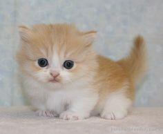 みんなの子猫ブリーダー マンチカン 男の子 レッドタビー&ホワイト 2016/01/25生まれ 千葉県 子猫ID:1602-00460 ※短足・ロングヘアの男の子です!
