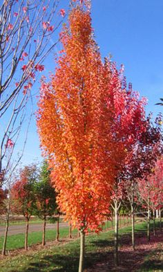 Armstrong Gold Maple ~ Narrow columnar tree with dense deep green foliage.  Golden orange in the fall.