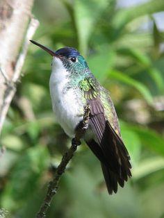 Amazilia franciae / Amazilia andino / Andean Emerald