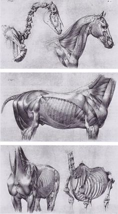 Inspirational Artworks: Animal art Not our art. Used for reference purposes on Horse Anatomy, Animal Anatomy, Anatomy Art, Anatomy Drawing, Horse Drawings, Animal Drawings, Art Drawings, Drawing Faces, Drawing Art
