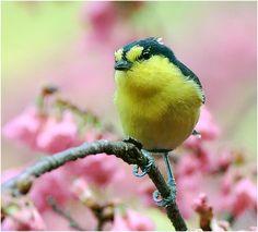 #384 黃山櫻背 (Naughty Bird) by John, via Flickr