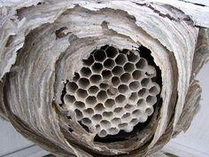 Wasp nest - Nid de guêpes by Lentille100, via Flickr