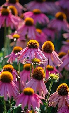 Echinacea 'Kim's Knee High' - cone flower