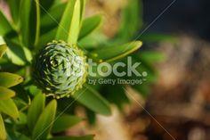 Kauri Tree (Agathis Australis): Female Cone Royalty Free Stock Photo