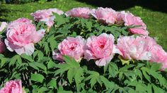 rosa Päonie