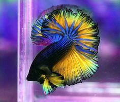 Photo via Betta Fish Care - earth Pretty Fish, Beautiful Fish, Animals Beautiful, Simply Beautiful, Colorful Fish, Tropical Fish, Freshwater Aquarium, Aquarium Fish, Betta Fish Care