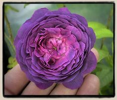 Belle de Crecy - Another rose for my wish list.
