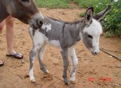 Google Image Result for http://terrierheights.com/images/Baby-miniature-donkey.-352x257.jpg