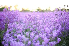 Fragrant Field of Purple Flowers www.corinavphotography.com