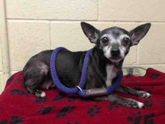 PLEDGES AND RESCUE NEEDED! A4811191 I don't have a name yet and I'm an approximately 4 year old female chihuahua sh. I am not yet spayed. I have been at the Downey Animal Care Center since March 24, 2015. I will be available on March 28, 2015. You can visit me at my temporary home at DRECEIVING. https://www.facebook.com/photo.php?fbid=841242892622711&set=pb.100002110236304.-2207520000.1427319105.&type=3&theater