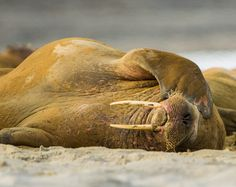 WALRUS SVALBARD 4 - wildlife photography from Svalbard by Dave Thomas