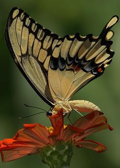 Yellow butterfly!