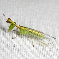 Green Mantisfly - Zeugomantispa minuta