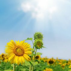 flower of sunflower and green plant under blue sky with sun and