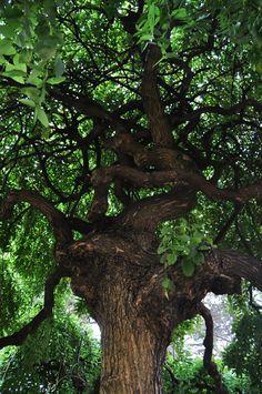 Sophora japonica 'Pendula' ou Arbre des Pagodes Sophora Japonica Pendula, Trees, Flowers, Plants, Beautiful, Gardens, Daffodils, Tree Structure, Plant