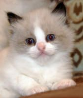 Seal bi-color Ragdoll kitten