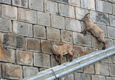 Unbelievable photos of goats on dam face!