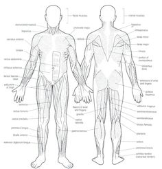 blank muscles diagram to label - Google Search | School ...