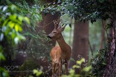 Red Deer in the forest by GertBosman1 #animals #animal #pet #pets #animales #animallovers #photooftheday #amazing #picoftheday