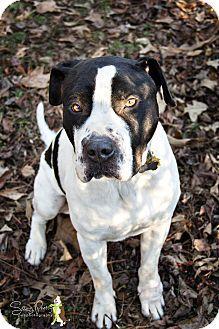 Windsor, VA - Great Dane/Pointer Mix. Meet Howie, a dog for adoption. http://www.adoptapet.com/pet/13573548-windsor-virginia-great-dane-mix