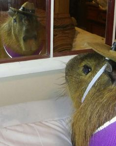 Chico, the 2-year-old 120-pound Capybara from Texarkana owned by Jackie Coleman…