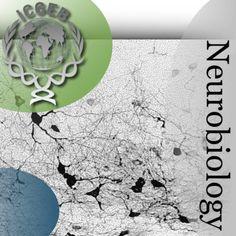 Neurobiology - ICGEB - Trieste, Italy | Neuroscience |447757026: Neurobiology - ICGEB - Trieste, Italy | Neuroscience… #Neuroscience