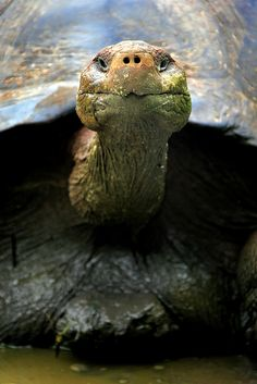 Wild Tortoise in the Galapagos Islands