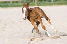 Das Quarter-Fohlen ist da 😍 Gerade eine Woche alt 😍 Horses, Animals, Baby Horses, Horseback Riding, Animales, Animaux, Animal, Animais, Horse