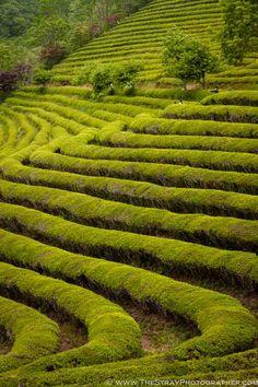 Boseong Geen Tea Plantations